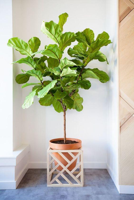 onderhoudsvriendelijke kamerplant graslelie Vioolbladplant