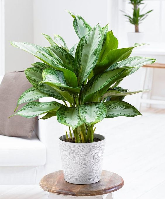 onderhoudsvriendelijke kamerplant chinese evergreen