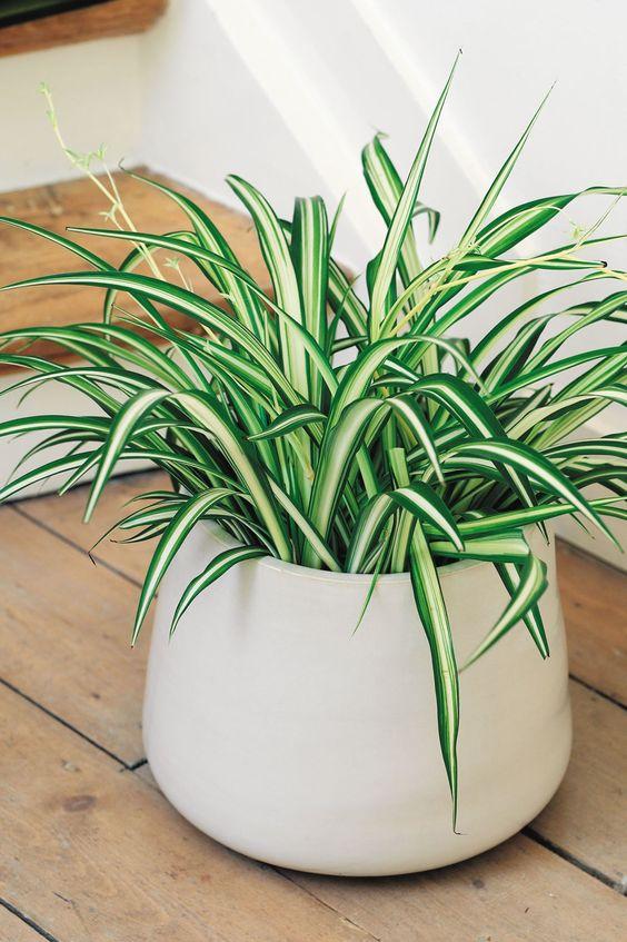 onderhoudsvriendelijke kamerplant graslelie