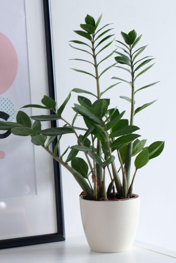 onderhoudsvriendelijke kamerplant zz plant